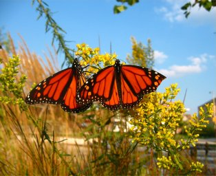 Monarch_Butterfly_Fall_Migration_Milwaukee_WI_9-20-2008_10__soul-amp