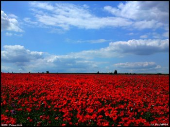 Poppy_field_by_PaSt1978
